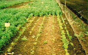 Bild 3:4. En morotsodling i humusrik, kopparfattig jord. 10 g kopparsulfat per ha har tillförts. Mitt i bilden syns en yta som inte tillförts kopparsulfat. (Källa: EDA (England) TN35.