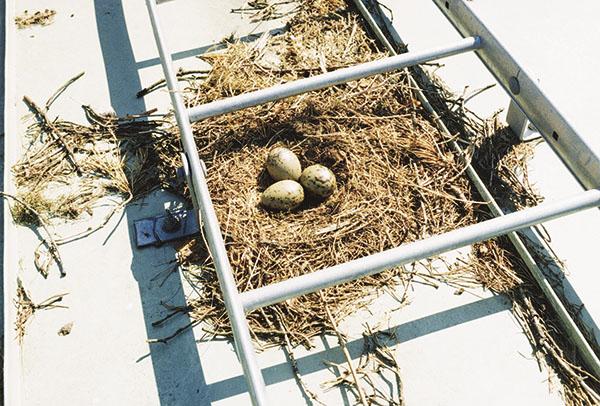 Bild 1:9. På det här taket kan det vara svårt att komma upp under den tid som äggen ruvas. Foto: Torbjörn Osterling.